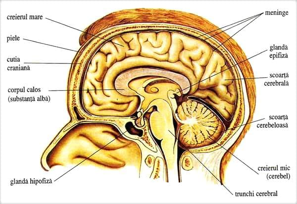 Creierul-uman-doctor-Dinu